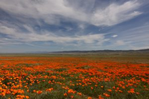 Image of a massive expanse of California poppies under a big sky with really cool clouds.