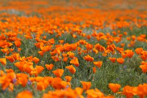 Wide angle shot of a field of California Poppies. Flowers fill the screen.