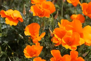 Closeup of California Poppies in bloom.